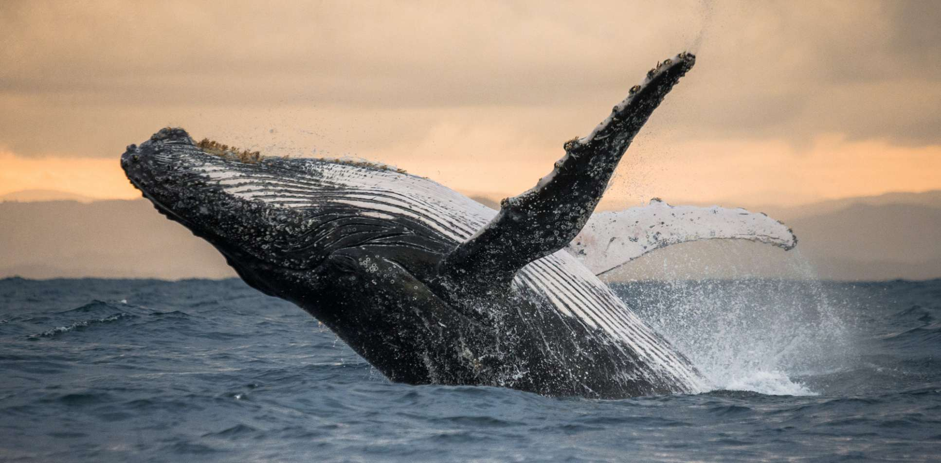 UF Wildlife Forensic Sciences and Conservation Humpback whale jumps out of the water