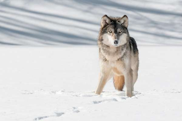 UF Wildlife Forensic Sciences and Conservation Grey Wolf